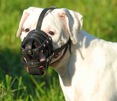 leather dog muzzle for American bulldog