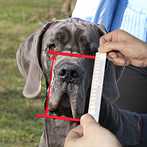 How to make proper measurement of dog's snout height